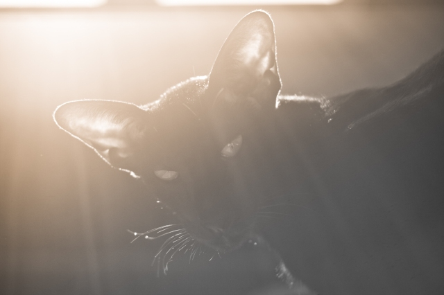 a photo of a black oriental shorthair cat in black and white with sepia tones