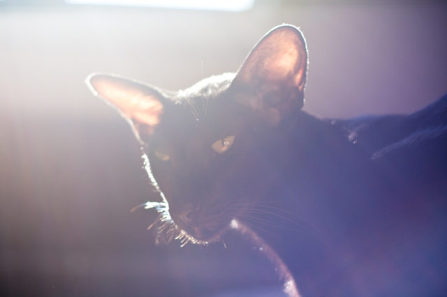 a portrait of a black oriental shorthair cat in purple lights