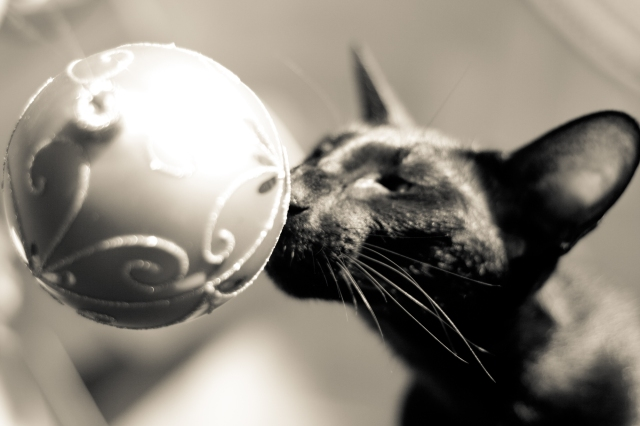 a photo of a black oriental shorthair cat sniffing a christmas ball