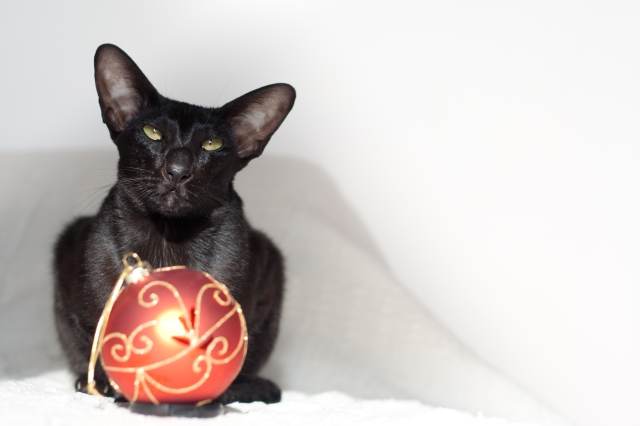 a photo of a black oriental shorthair cat sitting next to christmas decoration