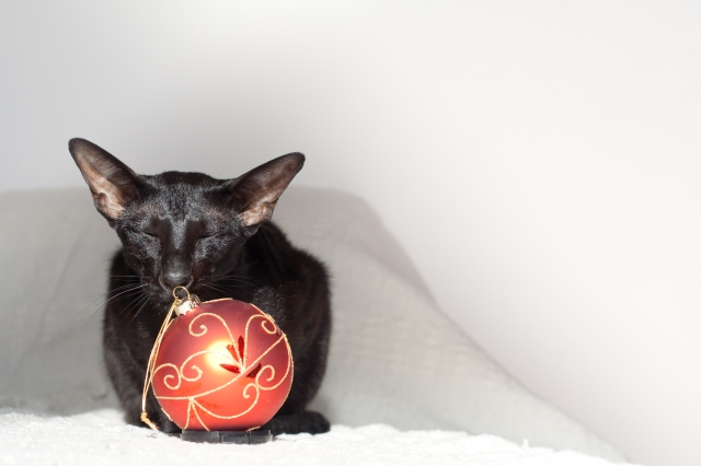 a picture of a black oriental shorthair cat touching new year's decoration with her nose