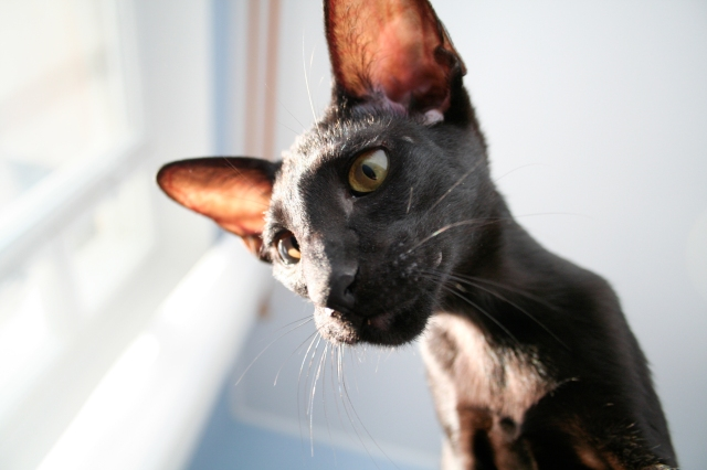 a photo of a young oriental shorthair cat fighting a cushion with her mouth open