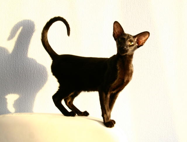 a funny photo of a young oriental shorthair cat standing on a tall leather chair