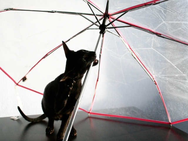 a funny photo of a black oriental shorthair cat biting on an umbrella