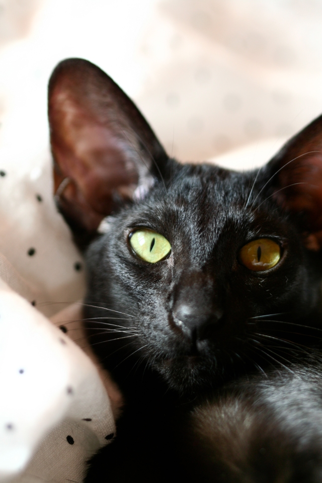 a funny closeup baby portrait of a black oriental shorthair cat Usyaka looking into the camera