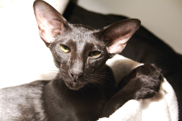 a portrait of a young black oriental shorthair cat Usyaka