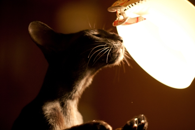 a funny photo of a black oriental shorthair cat sniffing a table lamp in darkness