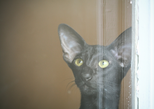 a portrait of a young black oriental shorthair cat looking surprised