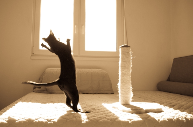 a sepia photo of a black oriental shorthair cat jumping up to get a toy mouse