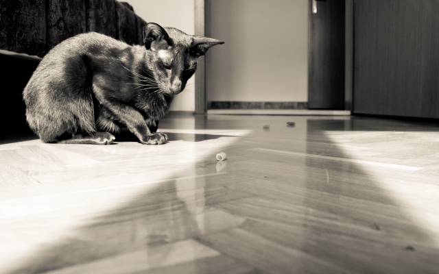 a sepia photo of a black oriental shorthair cat looking at pasta
