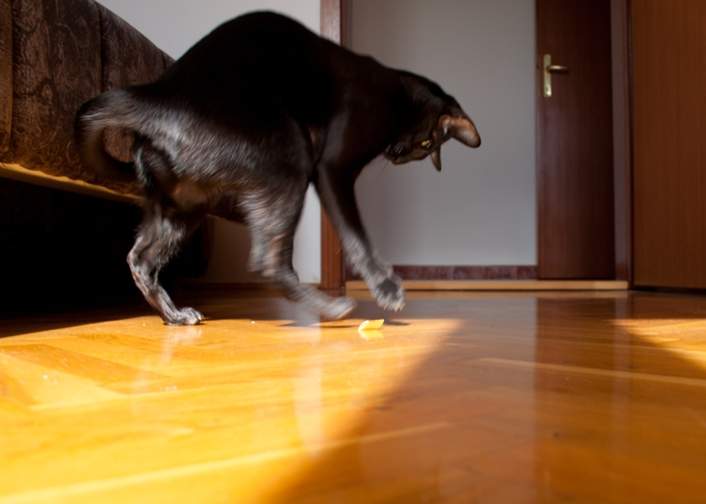 a photo of a black oriental shorthair cat jumping above pasta