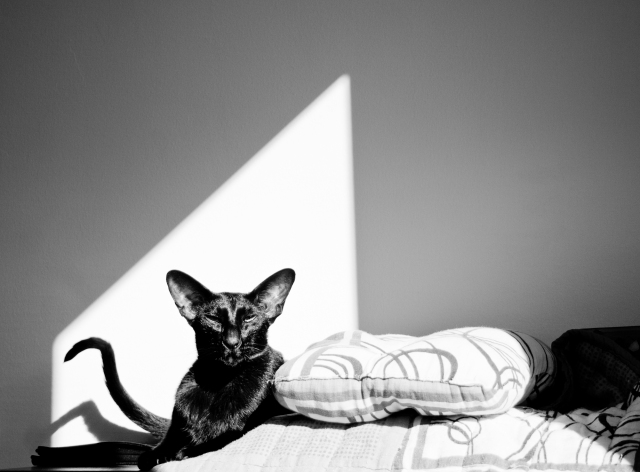 a black and white photo of a black oriental shorthair cat sitting on a book shelf in sunlight