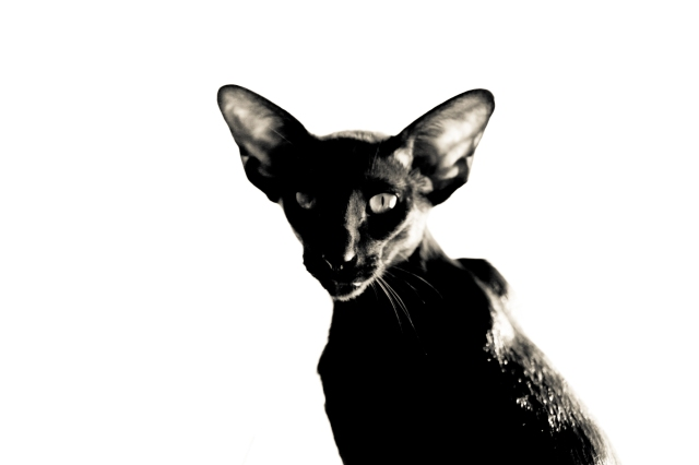 a black and white photo of a black oriental shorthair cat looking at the camera