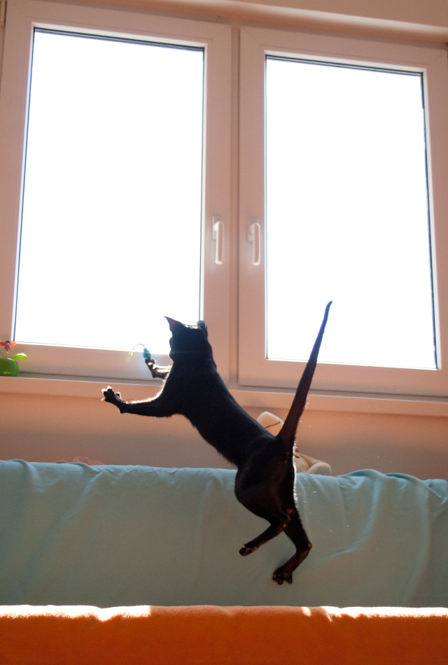 a photo of a black oriental shorthair cat jumping after her toy mouse and holding her tail very straight as if a needle
