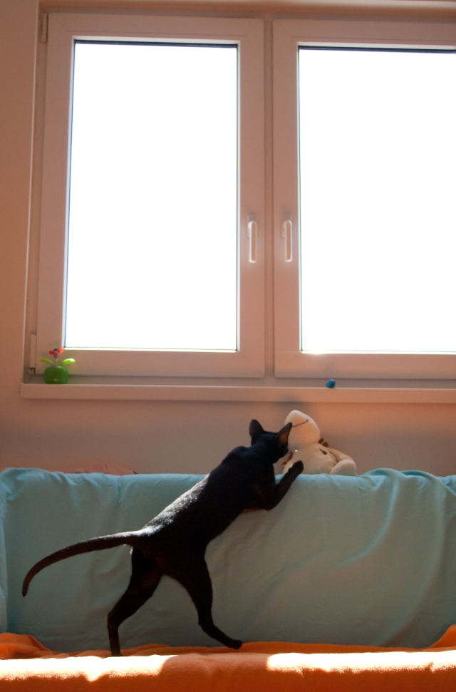 a photo of a black oriental shorthair cat seeing her toy mouse near the window
