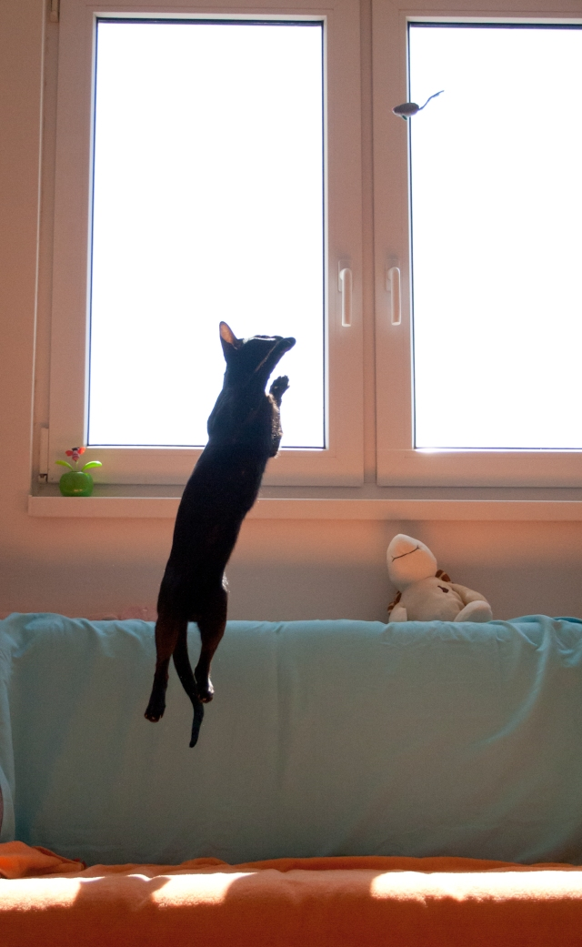 a funny photo of a black oriental shorthair cat hanging in the middle of the air in a long line while trying to get her toy mouse