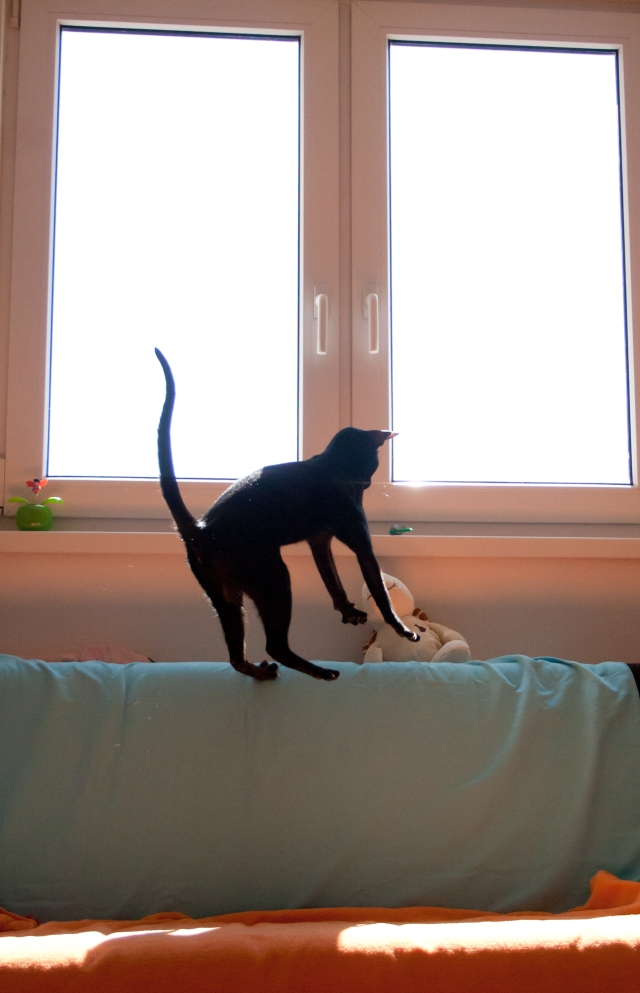 a photo of a black oriental shorthair cat hanging in the middle of the air while jumping after her toy