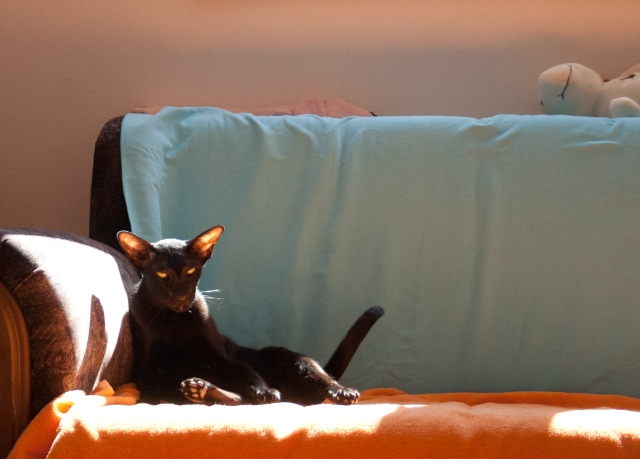 black oriental shorthair cat sitting tired on the sofa
