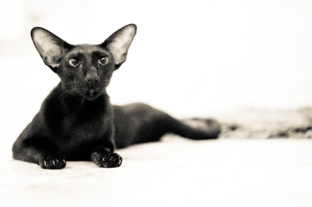 a funny photo of a black oriental shorthair cat twisted on the heated floor