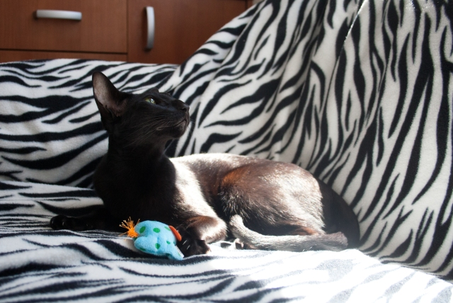 a photo of a black oriental shorthair cat lying quietly next to her toy and looking at the window