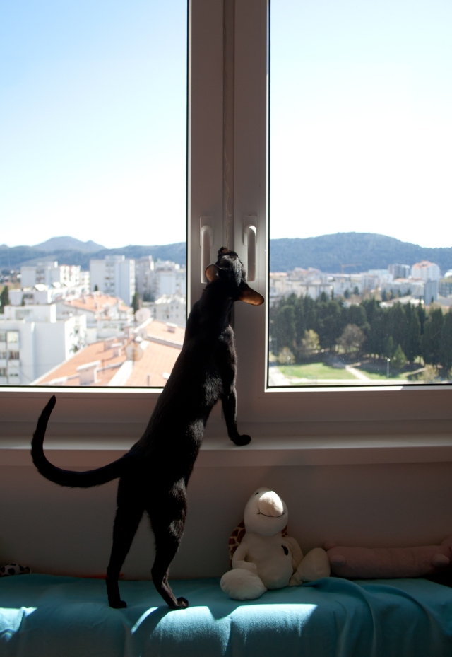 a funny photo of a black oriental shorthair cat trying to get her toy hanging on the window, behind which there is a view of a city
