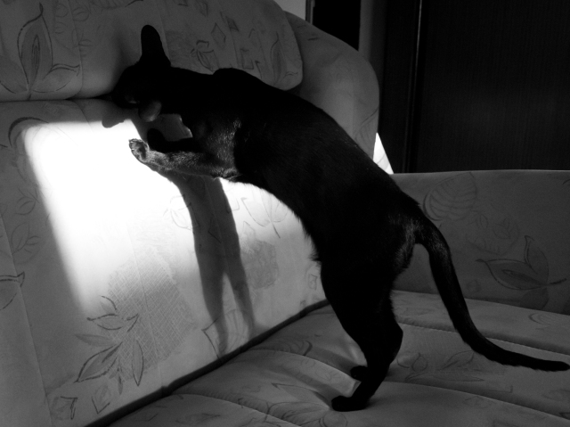 a photo of a black oriental shorthair cat jumping after a toy mouse so that it looks like her shadow also is jumping after that mouse