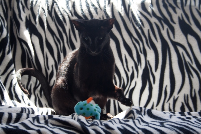 a photo of a black oriental shorthair cat playing with a toy wish which bubbles when touched