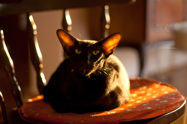 a photo of a black oriental shorthair cat sitting on a chair with summer sunshine on her back