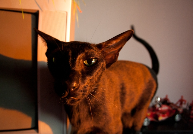 a black oriental shorthair cat which turned orange in sunset light