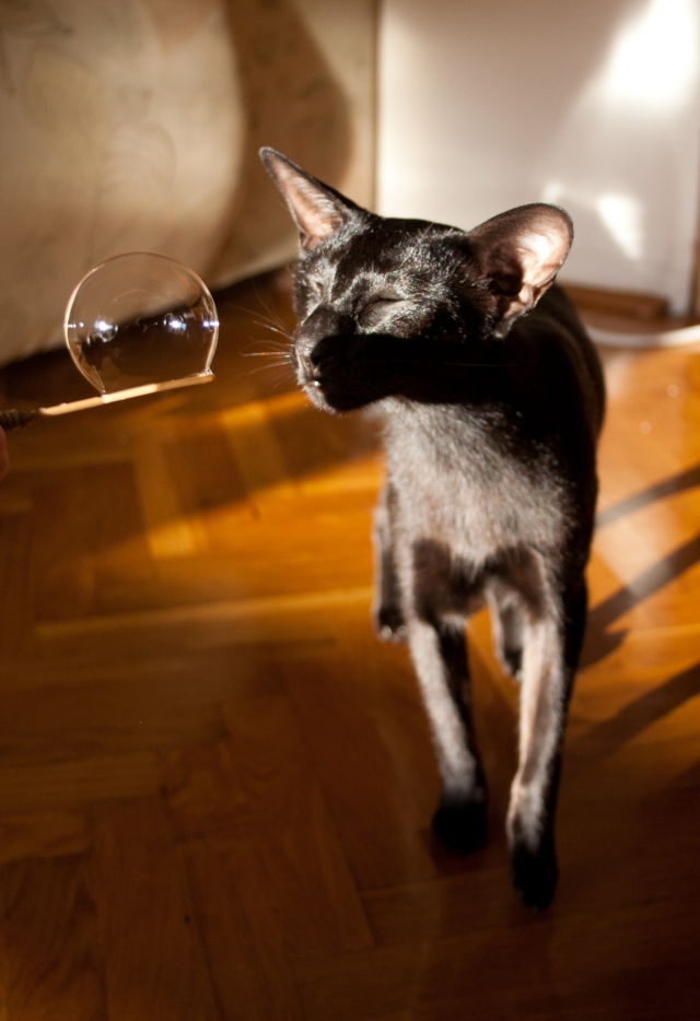 a photo of a black oriental shorthair cat trying to sniff a bubble