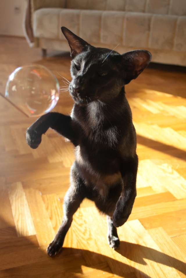 a photo of a black oriental shorthair cat standing up to sniff a bubble