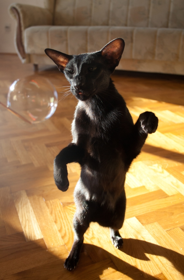 a photo of a black oriental shorthair cat standing upright while trying to hit a bubble
