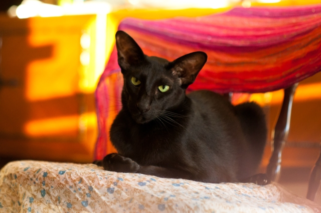 colorful portrait of a black oriental shorthair cat looking at the camera with her head tilted to a side