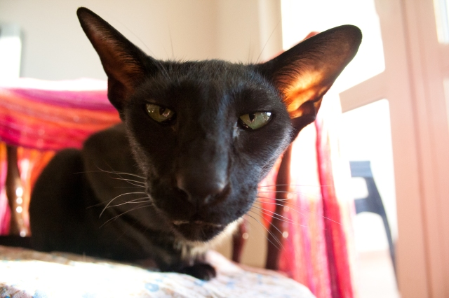 a funny photo of a black oriental shorthair cat with her face disproportional because her nose is very close to the camera