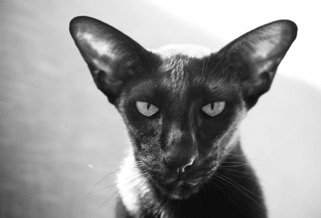 a black and white portrait of a black oriental shorthair cat