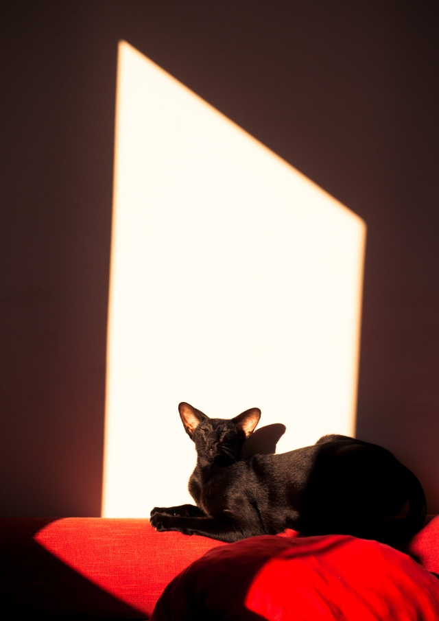 a photo of a black oriental shorthair cat in the ray of light falling from the window