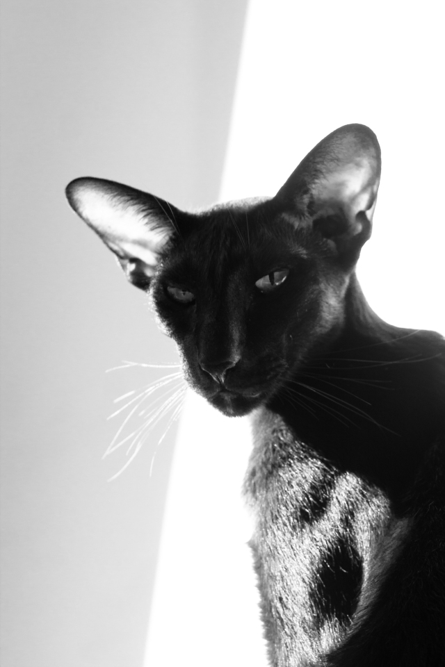 a black and white photo of a black oriental shorthair cat