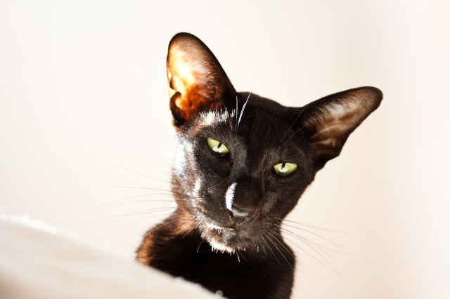 a close-up photo of a black oriental shorthair cat's face