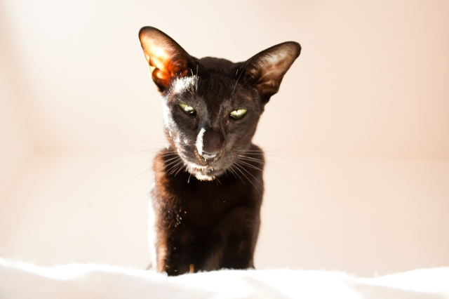 a close-up photo of a black oriental shorthair cat