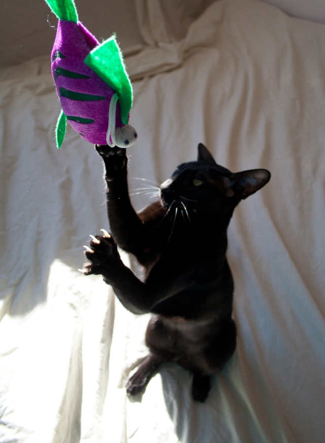 a funny photo of a black oriental shorthair cat stretching to her toy fish
