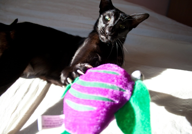 a funny photo of a black oriental shorthair cat looking at her toy fish with a funny face
