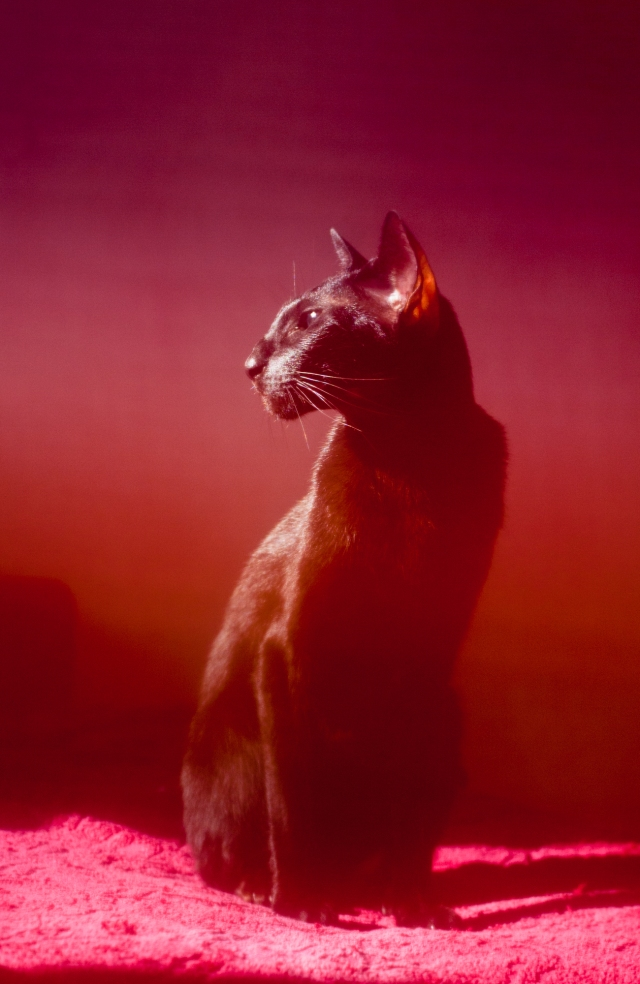 a colorful mystic photo of an oriental shorthair cat