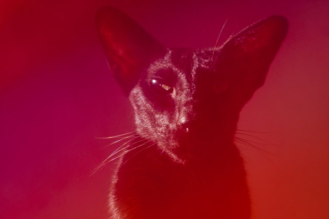a colorful photo of a black oriental shorthair cat which was taken by putting a colorful veil over a camera